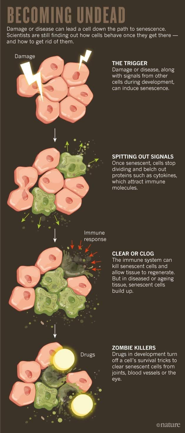 2308101c458b3f96d46c4b1a068a6080 استراتيجية علاج الشيخوخة الناجحة في الفئران أوشك تطبيقها على البشر
