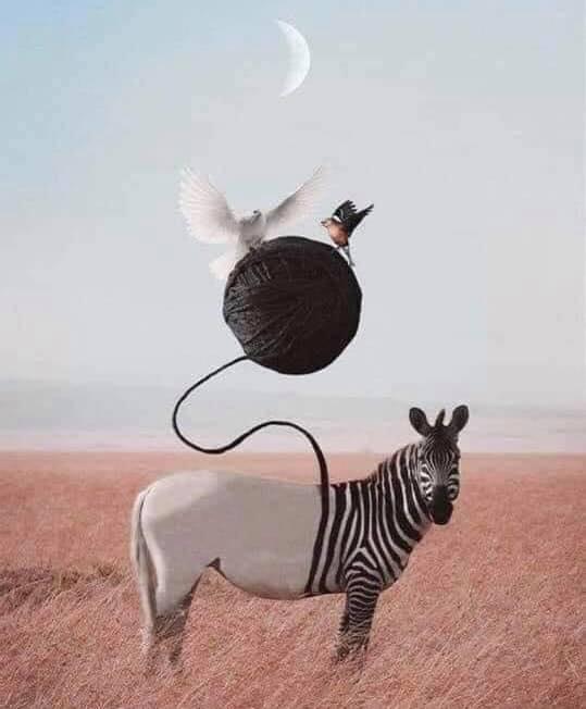 Zebra theory نظرية الحمار الوحشي